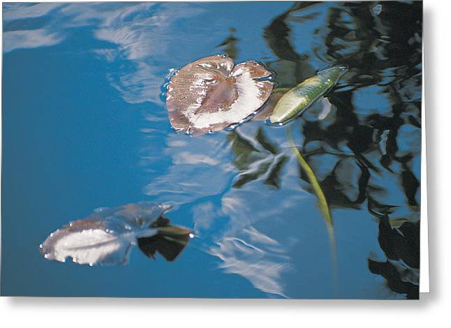 Flowers Posters Greeting Cards - Water lily leaves and reflection of clouds in unknown lake Greeting Card by Australian School