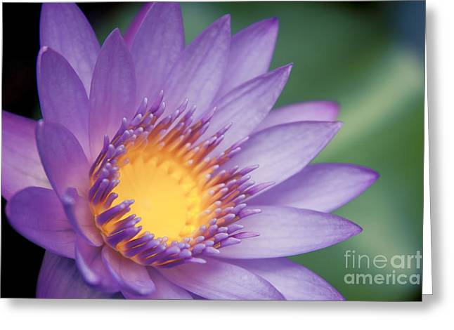 Hawaiian Pond Greeting Cards - Water Lily Nymphaea nouchali Star Lotus Greeting Card by Sharon Mau