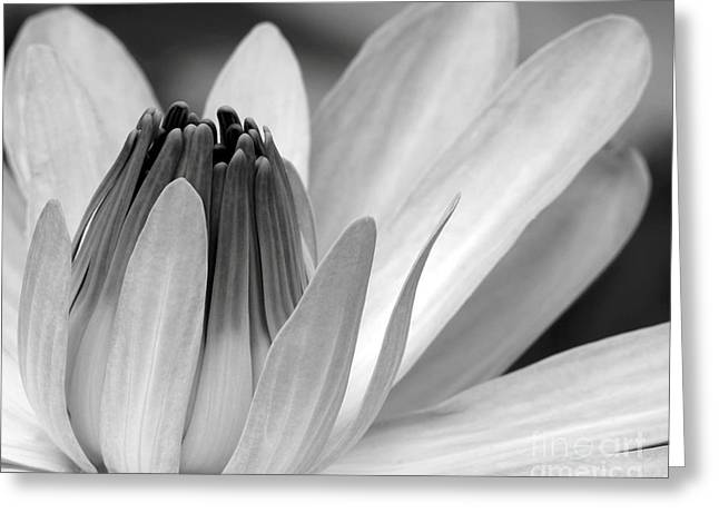 Water Garden Photographs Greeting Cards - Water Lily Opening Greeting Card by Sabrina L Ryan