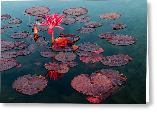 Aquatic Greeting Cards - Water Lily - Red Flare Greeting Card by Patti Deters