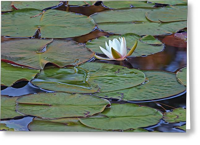 Water Lily Scene Greeting Card by Bill Chambers