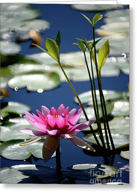 Water Lily Greeting Card by Terry Elniski