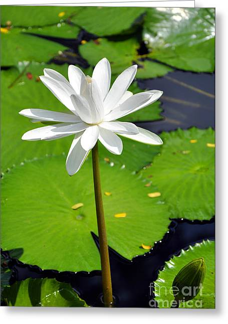 Quan Greeting Cards - Water Lotus Greeting Card by Andrew Dinh
