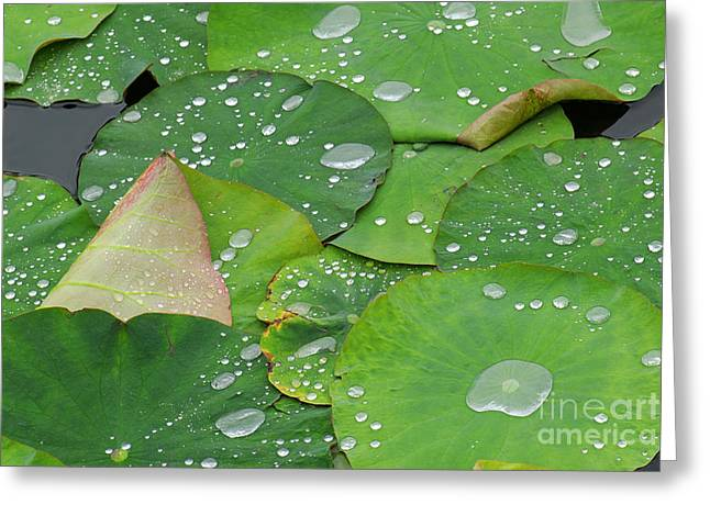 Pond Photographs Greeting Cards - Waterdrops on lotus leaves Greeting Card by Silke Magino