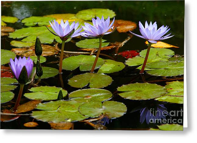 Nenuphar Greeting Cards - Waterlilies Greeting Card by Gaspar Avila