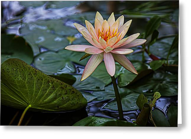 White Waterlily Greeting Cards - Waterlily star Greeting Card by Garry Gay