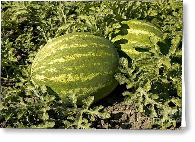 Watermelon Greeting Cards - Watermelons In A Field Greeting Card by Inga Spence