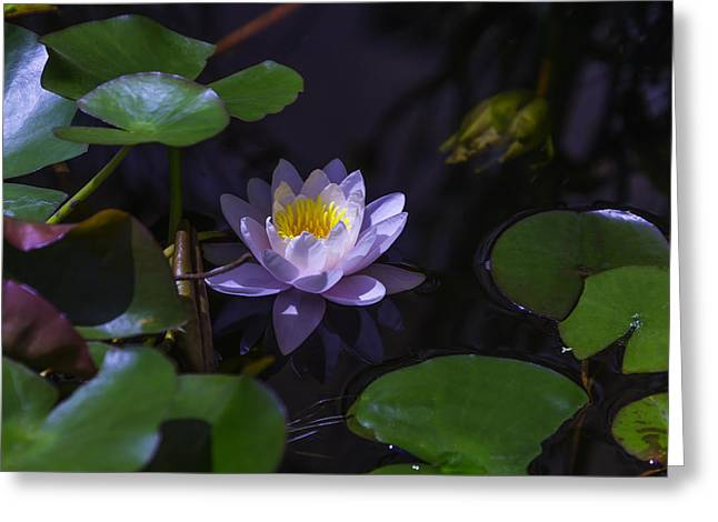 White Waterlily Greeting Cards - Watherlilly Secrets Greeting Card by Garry Gay
