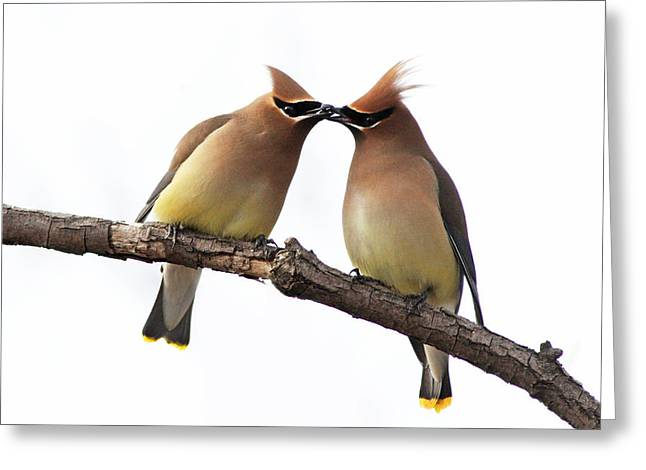 Cedar Waxwing Greeting Cards - Waxwings in love Greeting Card by Mircea Costina Photography