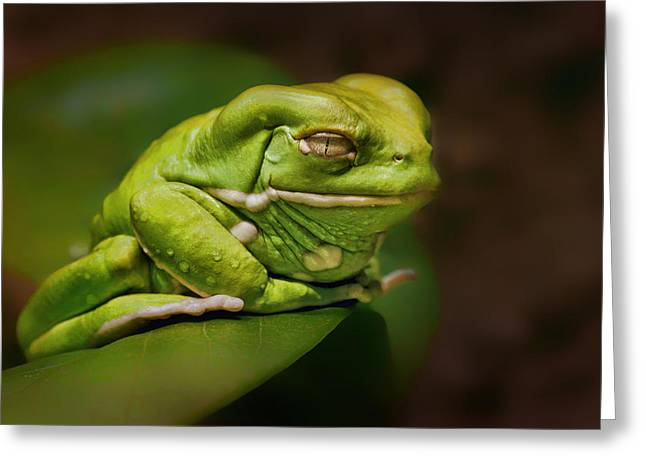 Leaf Frog Greeting Cards - Waxy Monkey Tree Frog Greeting Card by Nikolyn McDonald