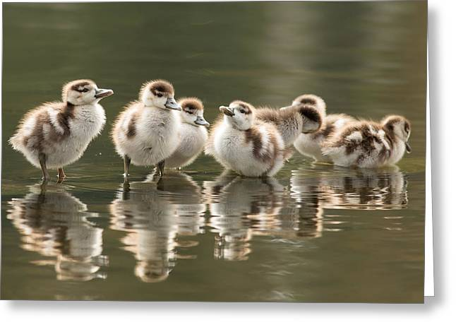 Suckling Greeting Cards - We Are Family - Seven Egytean Goslings in a Row Greeting Card by Roeselien Raimond