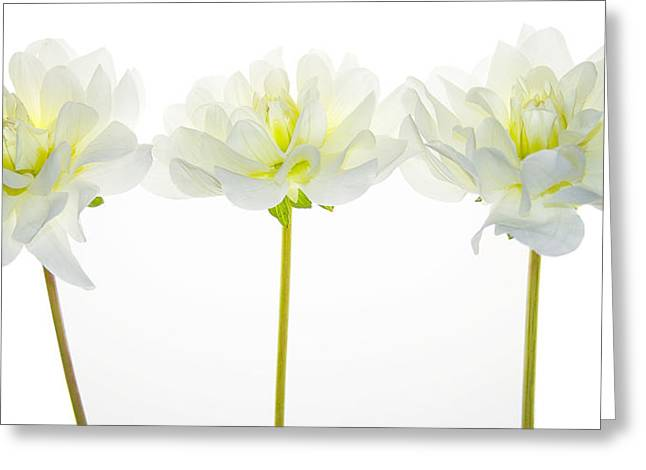 Dahlia Greeting Cards - We Glow Greeting Card by Rebecca Cozart