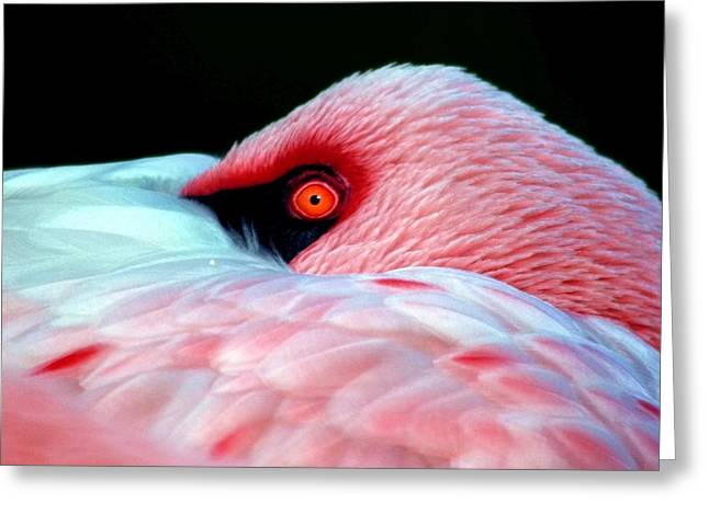 Flamingo Greeting Cards - Wearing Pink Greeting Card by Mitch Cat