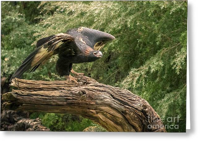 Wedge-tailed Eagle Australia Greeting Card by Teresa A and Preston S Cole Photography