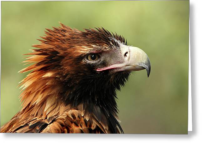 Australian Native Bird Greeting Cards - Wedgetailed Eagle Greeting Card by Marion Cullen