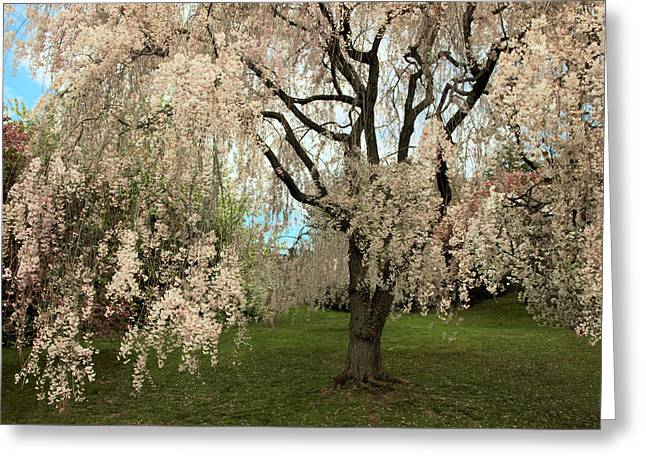 Weeping Greeting Cards - Weeping Asian Cherry Greeting Card by Jessica Jenney