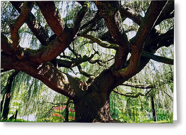 Haut Greeting Cards - Weeping Cedar Canopy Greeting Card by Alex Cassels
