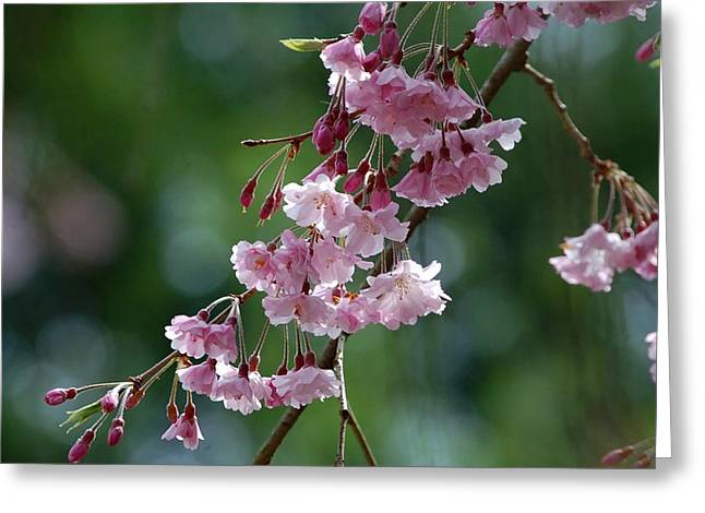 Weeping Greeting Cards - Weeping Cherry Bough Greeting Card by Molly Dean