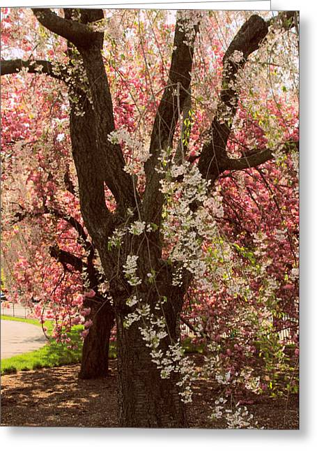 Weeping Greeting Cards - Weeping Cherry Panel Greeting Card by Jessica Jenney