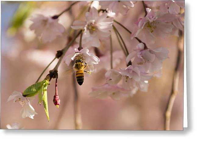 Weeping Greeting Cards - Weeping Cherry Tree Branch Greeting Card by Tracy Winter