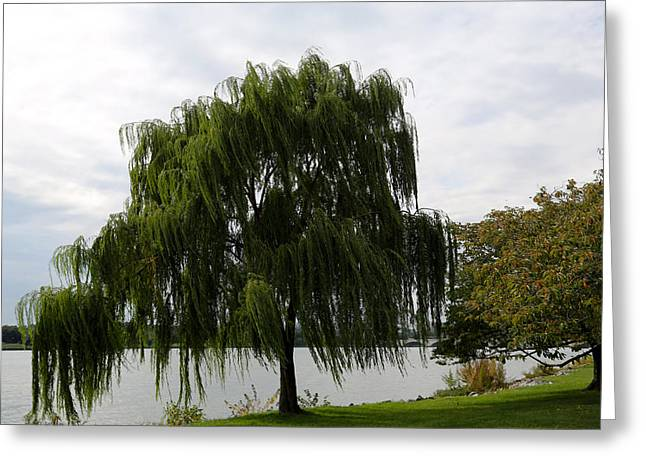 Weeping Greeting Cards - Weeping Willow Greeting Card by Heidi Pix