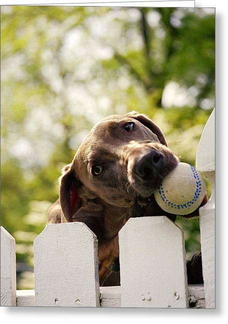 Weimaraner Holding Baseball In Mouth Greeting Card by Gillham Studios