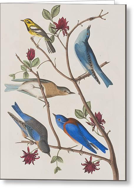 Western Blue-bird Greeting Card by John James Audubon