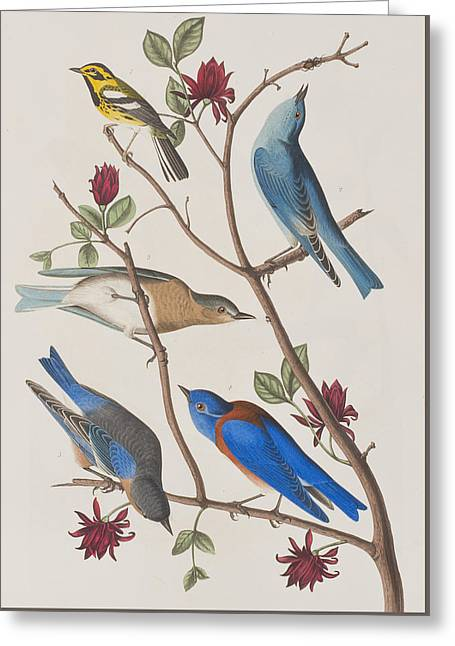 Warblers Greeting Cards - Western Blue-bird Greeting Card by John James Audubon