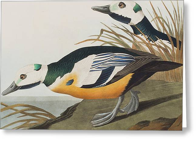 Breeds Greeting Cards - Western Duck Greeting Card by John James Audubon