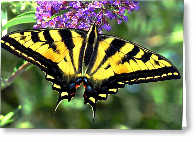 Swallowtail Butterflies Greeting Cards - Western Gardens Greeting Card by Laura Mountainspring