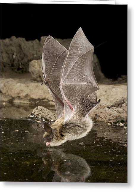 Deschutes Greeting Cards - Western Long-eared Myotis Drinking Greeting Card by Michael Durham