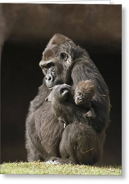 Emoting Greeting Cards - Western Lowland Gorilla Gorilla Gorilla Greeting Card by San Diego Zoo