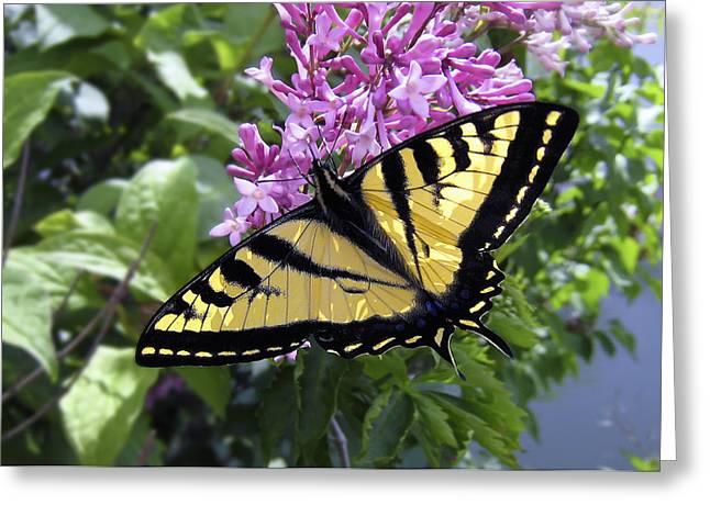 Swallowtail Butterflies Greeting Cards - Western Tiger Swallowtail Butterfly Greeting Card by Daniel Hagerman