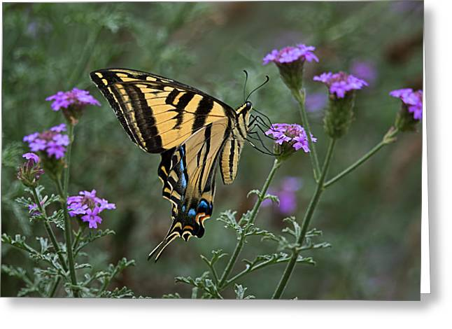 The Nature Center Greeting Cards - Western Tiger Swallowtail Butterfly Pollination Beauty Greeting Card by Leslie Reagan -  Joy To The Wild Photos