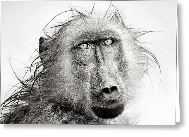 White Photographs Greeting Cards - Wet Baboon portrait Greeting Card by Johan Swanepoel