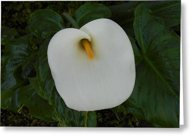 Dew Covered Flower Greeting Cards - Wet Lily Greeting Card by Kathy Franklin