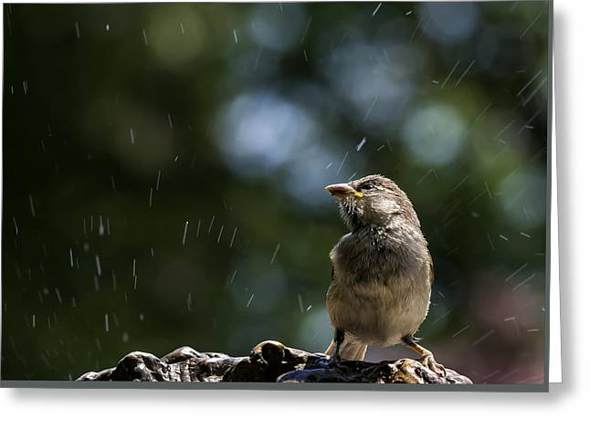 Sparrow Greeting Cards - Wet Sparrow Greeting Card by Robert Ullmann
