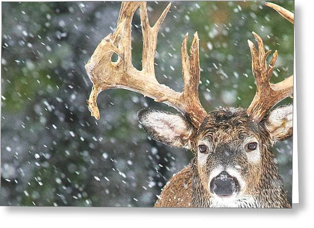 Winter Storm Greeting Cards - Wet Winter Buck Greeting Card by Timothy Flanigan