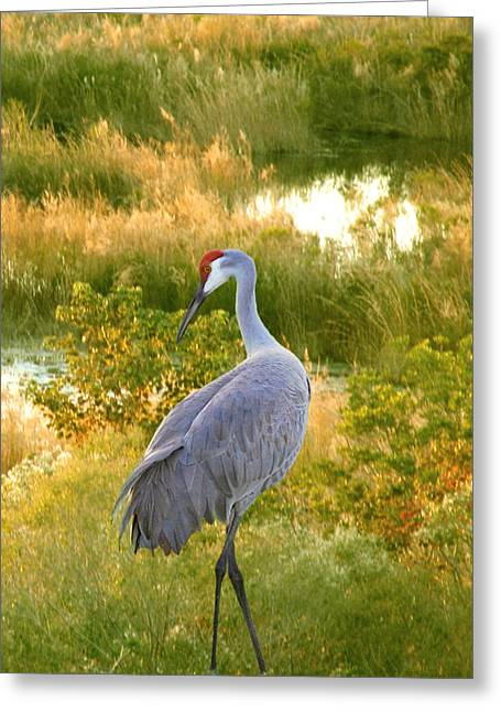 Cranes In Florida Greeting Cards - Wetland Splendor Greeting Card by Adele Moscaritolo