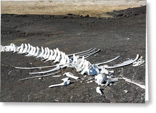 Animal Death Greeting Cards - Whale Bones Greeting Card by Jess Kraft