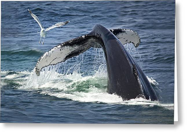 New England Ocean Greeting Cards - Whale of a Tail Greeting Card by Betty Wiley