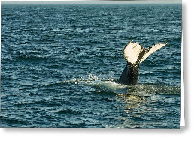 Whale Photographs Greeting Cards - Whale Greeting Card by Sebastian Musial