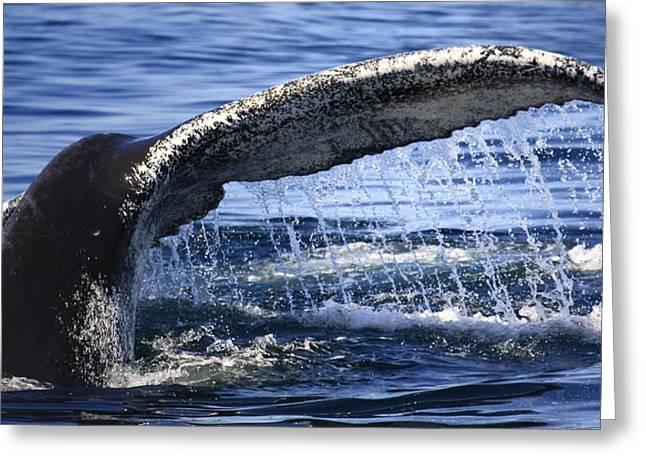 Ocean Mammals Greeting Cards - Whale Tail Greeting Card by Dapixara Art