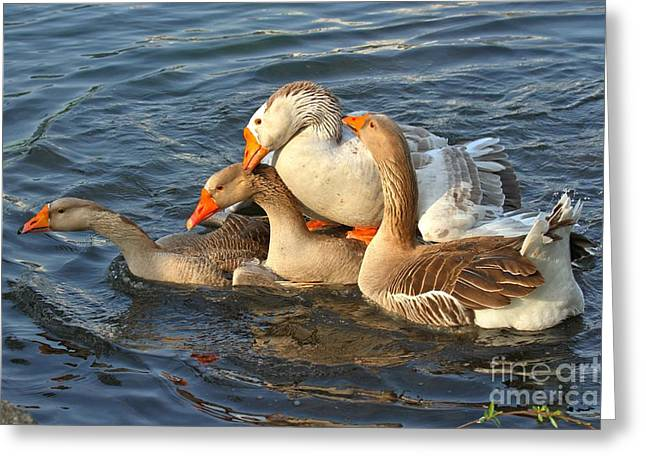 Yellow Beak Greeting Cards - Toulouse Geese Mating Greeting Card by Adam Jewell