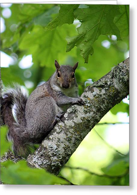 Tree Squirrel Greeting Cards - What are you looking at Greeting Card by Nick Gustafson