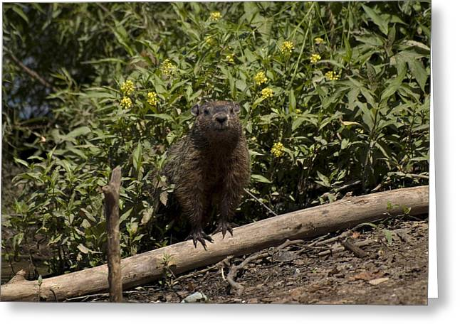 Duke Island Park Greeting Cards - What Is Going On Says Groundhog Greeting Card by Warren M Gray
