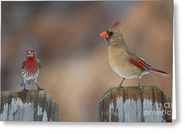 Cardinals. Wildlife. Nature. Photography Greeting Cards - Whats Up Greeting Card by Todd Hostetter
