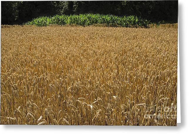 Kim Photographs Greeting Cards - Wheat and Corn Greeting Card by Kim Lessel