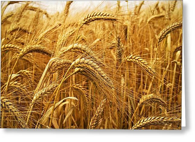 Wheat Greeting Card by Elena Elisseeva