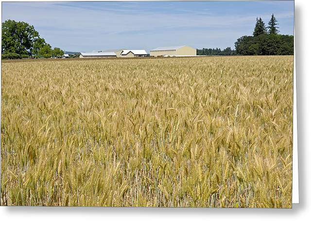 Wheat Field In The Willamette Valley. Greeting Card by Gino Rigucci